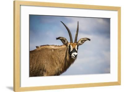 Roan Antelope (Hippotragus Equinus), Nyika National Park, Malawi, Africa-Michael Runkel-Framed Photographic Print