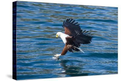 African Fish Eagle (Haliaeetus Vocifer) Hunting Fish, Cape Maclear, Lake Malawi, Malawi, Africa-Michael Runkel-Stretched Canvas Print