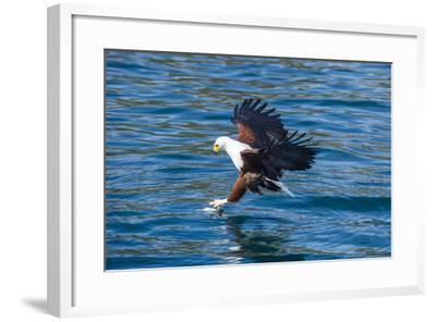 African Fish Eagle (Haliaeetus Vocifer) Hunting Fish, Cape Maclear, Lake Malawi, Malawi, Africa-Michael Runkel-Framed Photographic Print