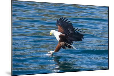 African Fish Eagle (Haliaeetus Vocifer) Hunting Fish, Cape Maclear, Lake Malawi, Malawi, Africa-Michael Runkel-Mounted Photographic Print