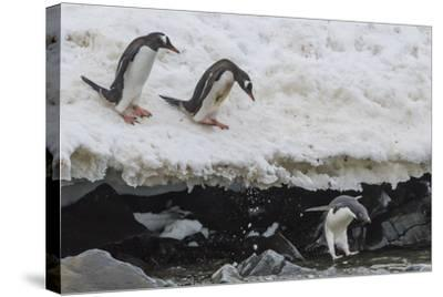 Gentoo Penguins (Pygoscelis Papua) Leaping into the Sea with Adelie Penguin at Booth Island-Michael Nolan-Stretched Canvas Print
