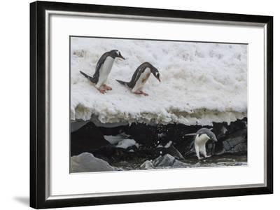 Gentoo Penguins (Pygoscelis Papua) Leaping into the Sea with Adelie Penguin at Booth Island-Michael Nolan-Framed Photographic Print