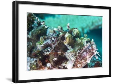 Tassled Scorpionfish (Smallscale Scorpionfish) (Scorpaenopsis Oxycephala)-Louise Murray-Framed Photographic Print