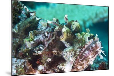 Tassled Scorpionfish (Smallscale Scorpionfish) (Scorpaenopsis Oxycephala)-Louise Murray-Mounted Photographic Print