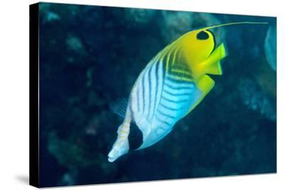Thread Fin Butterflyfish (Chaetodon Auriga), Usually Seen in Pairs, Queensland, Australia, Pacific-Louise Murray-Stretched Canvas Print