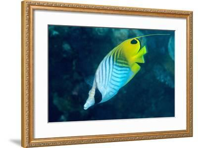 Thread Fin Butterflyfish (Chaetodon Auriga), Usually Seen in Pairs, Queensland, Australia, Pacific-Louise Murray-Framed Photographic Print