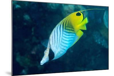 Thread Fin Butterflyfish (Chaetodon Auriga), Usually Seen in Pairs, Queensland, Australia, Pacific-Louise Murray-Mounted Photographic Print