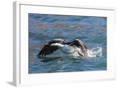 Adult South Georgia Shag (Phalacrocorax Atriceps Georgianus), in Ocean Harbor, South Georgia-Michael Nolan-Framed Photographic Print