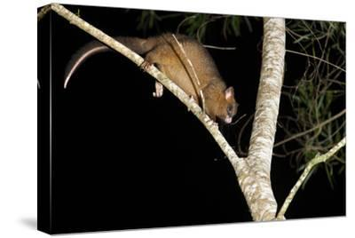 Coppery Brushtail Possum (Trichosurus Vulpecula Johnstonii)-Louise Murray-Stretched Canvas Print