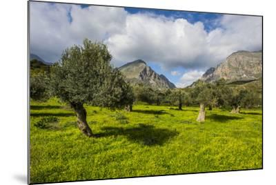 Blooming Field with Olive Trees, Crete, Greek Islands, Greece, Europe-Michael Runkel-Mounted Photographic Print