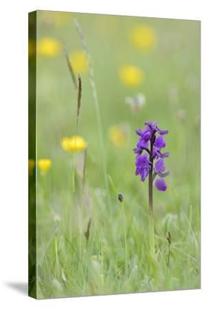 Green-Winged Orchid (Orchis) (Anacamptis Morio) Flowering in a Hay Meadow-Nick Upton-Stretched Canvas Print
