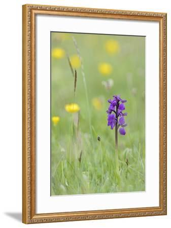 Green-Winged Orchid (Orchis) (Anacamptis Morio) Flowering in a Hay Meadow-Nick Upton-Framed Photographic Print