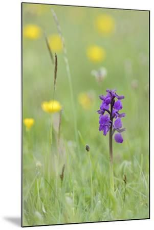 Green-Winged Orchid (Orchis) (Anacamptis Morio) Flowering in a Hay Meadow-Nick Upton-Mounted Photographic Print