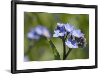 Wood Forget-Me-Not (Myosotis Sylvatica) Flowers, Cornwall, England, United Kingdom-Nick Upton-Framed Photographic Print