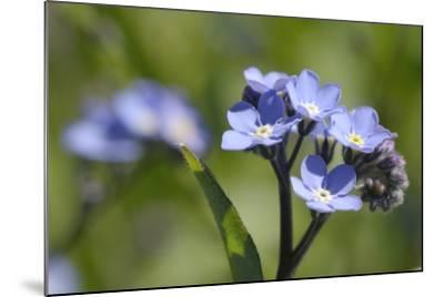 Wood Forget-Me-Not (Myosotis Sylvatica) Flowers, Cornwall, England, United Kingdom-Nick Upton-Mounted Photographic Print