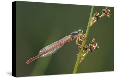 Male Small Red Damselfly (Ceriagrion Tenellum) Infested with Mites Perched on a Sedge Stem-Nick Upton-Stretched Canvas Print