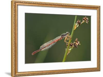 Male Small Red Damselfly (Ceriagrion Tenellum) Infested with Mites Perched on a Sedge Stem-Nick Upton-Framed Photographic Print