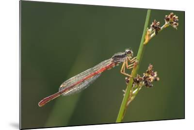 Male Small Red Damselfly (Ceriagrion Tenellum) Infested with Mites Perched on a Sedge Stem-Nick Upton-Mounted Photographic Print