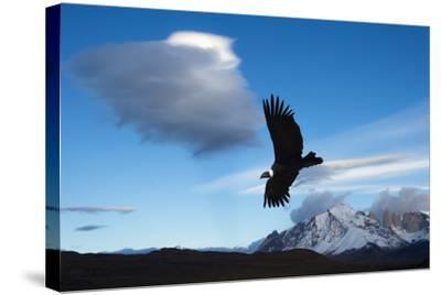 Andean Condor (Vultur Gryphus) Flying over Torres Del Paine National Park, Chilean Patagonia, Chile-G & M Therin-Weise-Stretched Canvas Print