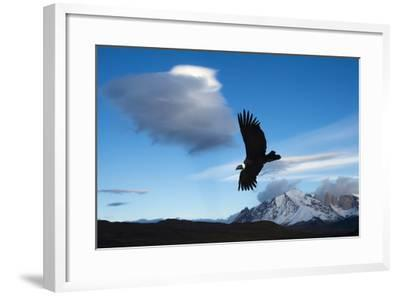 Andean Condor (Vultur Gryphus) Flying over Torres Del Paine National Park, Chilean Patagonia, Chile-G & M Therin-Weise-Framed Photographic Print
