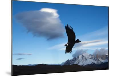 Andean Condor (Vultur Gryphus) Flying over Torres Del Paine National Park, Chilean Patagonia, Chile-G & M Therin-Weise-Mounted Photographic Print