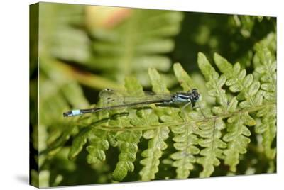 Male Blue-Tailed Damselfly (Ischnura Elegans) Resting on a Bracken Frond-Nick Upton-Stretched Canvas Print
