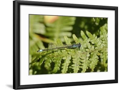 Male Blue-Tailed Damselfly (Ischnura Elegans) Resting on a Bracken Frond-Nick Upton-Framed Photographic Print