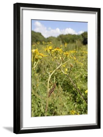 Cinnabar Moth Caterpillars (Tyria Jacobaeae) Feeding on Ragwort Plants (Senecio Jacobaea)-Nick Upton-Framed Photographic Print