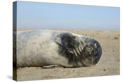 Grey Seal Pup (Halichoerus Grypus) Chewing a Flipper While Lying on a Sandy Beach-Nick Upton-Stretched Canvas Print