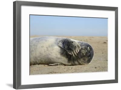 Grey Seal Pup (Halichoerus Grypus) Chewing a Flipper While Lying on a Sandy Beach-Nick Upton-Framed Photographic Print