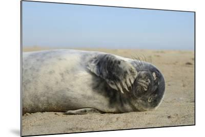 Grey Seal Pup (Halichoerus Grypus) Chewing a Flipper While Lying on a Sandy Beach-Nick Upton-Mounted Photographic Print