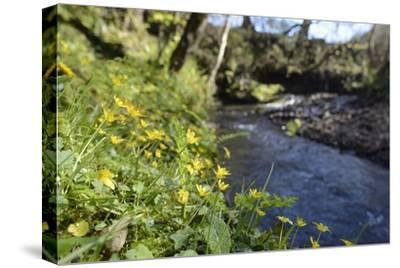 Lesser Celandines (Ranunculus Ficaria) Flowering on a Stream Bank in Woodland-Nick Upton-Stretched Canvas Print