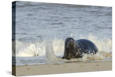 Grey Seal (Halichoerus Grypus) Adult Hauling Ashore Among Breaking Waves-Nick Upton-Stretched Canvas Print
