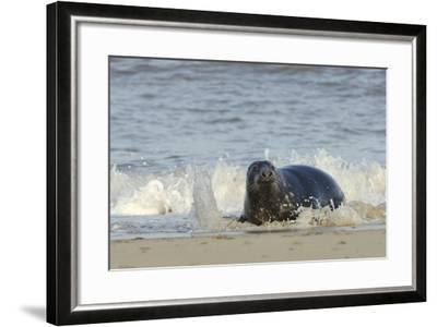 Grey Seal (Halichoerus Grypus) Adult Hauling Ashore Among Breaking Waves-Nick Upton-Framed Photographic Print