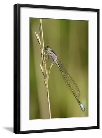 Female Blue-Tailed Damselfly (Ischnura Elegans)-Nick Upton-Framed Photographic Print