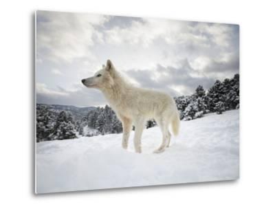Arctic Wolf (Canis Lupus Arctos), Montana, United States of America, North America-Janette Hil-Metal Print