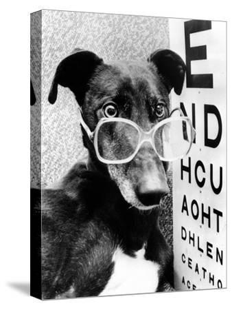 Greyhound Wearing Glasses February 1987--Stretched Canvas Print