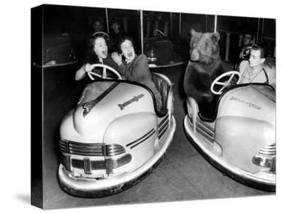 Brown Bear of Bertram Mills Circus in Bumper Cars Dodgems December 15, 1954--Stretched Canvas Print