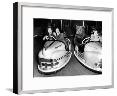 Brown Bear of Bertram Mills Circus in Bumper Cars Dodgems December 15, 1954--Framed Photo