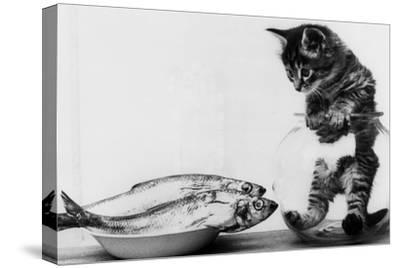 Kitten in an Aquarium Looking at Fishes in a Plate, June 26, 1972--Stretched Canvas Print
