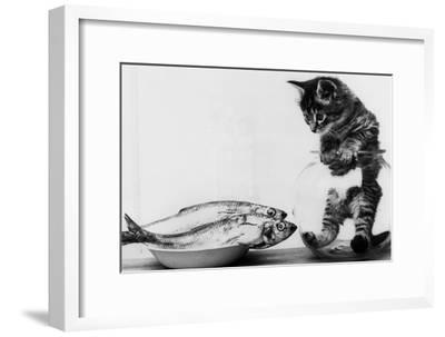 Kitten in an Aquarium Looking at Fishes in a Plate, June 26, 1972--Framed Photo