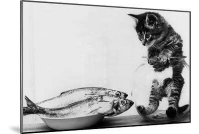 Kitten in an Aquarium Looking at Fishes in a Plate, June 26, 1972--Mounted Photo