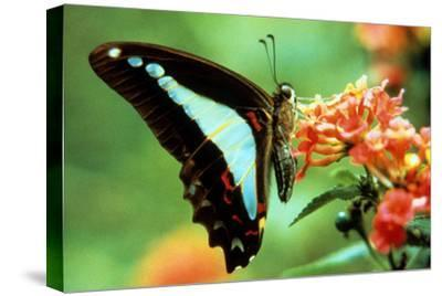 To Be a Butterfly 1988 Papillon--Stretched Canvas Print
