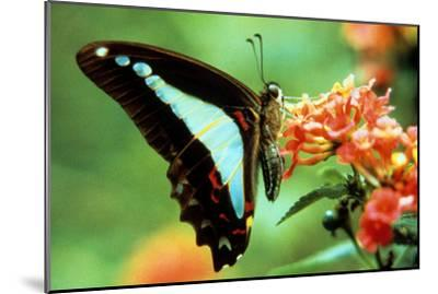 To Be a Butterfly 1988 Papillon--Mounted Photo