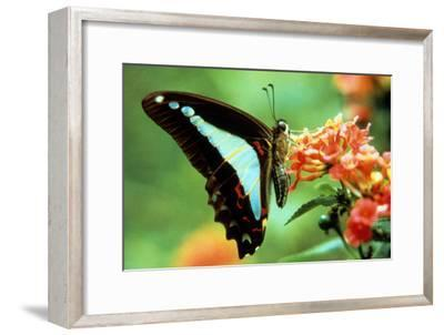 To Be a Butterfly 1988 Papillon--Framed Photo