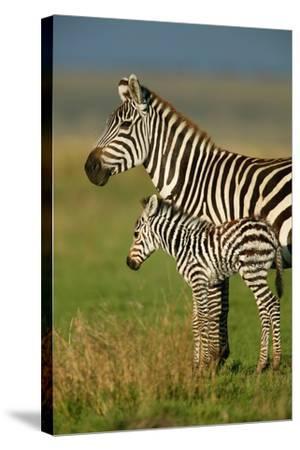 Zebra and Baby-Lantern Press-Stretched Canvas Print