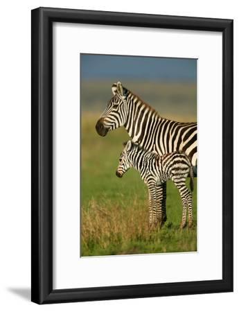 Zebra and Baby-Lantern Press-Framed Art Print