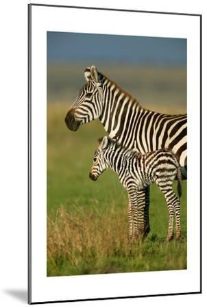 Zebra and Baby-Lantern Press-Mounted Art Print