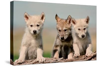 Wolf Pups-Lantern Press-Stretched Canvas Print