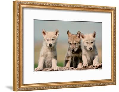 Wolf Pups-Lantern Press-Framed Art Print